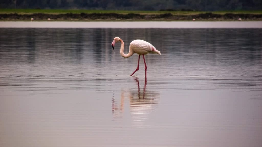 lac salé larnaca flamants roses